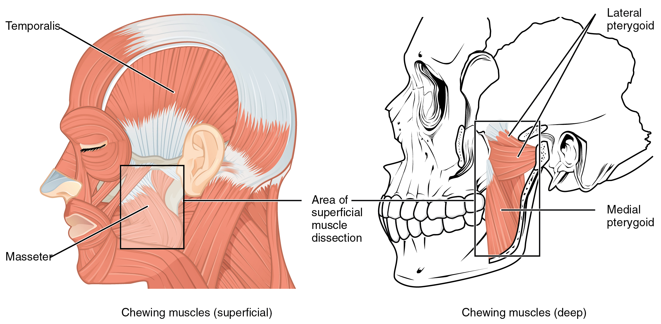 1108 Muscle that Move the Lower Jaw