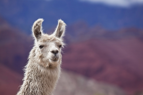 Llama Antibodies Could Help Scientists Get Closer to Stopping the Coronavirus Pandemic—Here's How